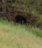 Черный медведь Cub вползает длинный край поля стоковое фото