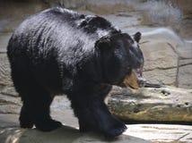 Черный медведь Lumbers вдоль уступа утеса Стоковая Фотография