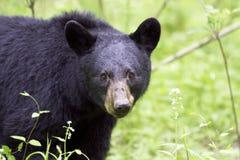 Черный медведь в закоптелом национальном парке горы Стоковое Изображение
