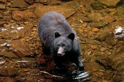 Черный медведь ища семги на принце Ките в Аляске Стоковые Изображения RF