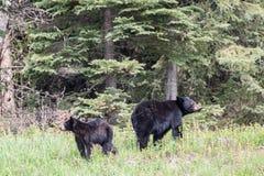 Черный медведь и Cub Стоковое Изображение RF