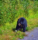 Черный медведь Канада большинств знакомые дикие животные Стоковая Фотография RF