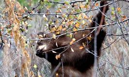 Черный медведь на живой природе Jackson Hole есть ягоды Стоковое Изображение