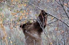 Черный медведь на живой природе Jackson Hole есть ягоды Стоковые Фотографии RF
