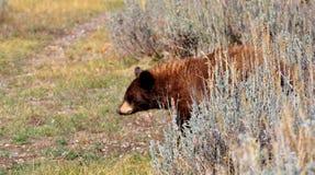 Черный медведь на живой природе Jackson Hole Стоковые Изображения RF