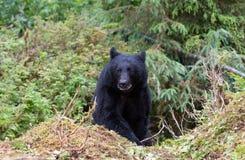 Черный медведь на следе Стоковая Фотография RF