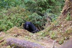 Черный медведь на следе стоковое изображение rf