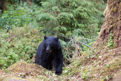 Черный медведь на следе стоковая фотография