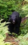 Черный медведь на следе стоковые изображения
