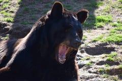 Черный медведь раскрывает рот Стоковые Изображения