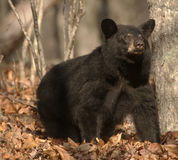 Черный медведь смотрит вне от леса Стоковая Фотография RF