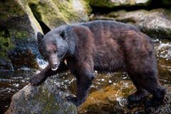 Черный медведь смотря фотограф стоковые изображения rf