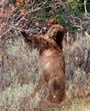 Черный медведь стоя вверх Стоковое Изображение