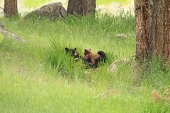 Черный медведь с новичками Стоковое Фото
