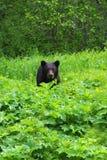 Черный медведь стоковое изображение