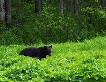 Черный медведь стоковые изображения rf