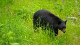 Черный медведь акции видеоматериалы