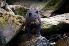 Черный медведь стоковая фотография