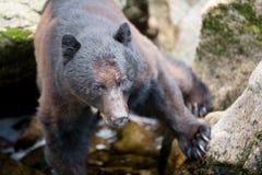 Черный медведь Стоковые Фотографии RF