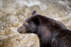 Черный медведь стоковые фото