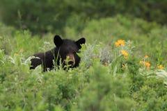 Черный медведь Стоковая Фотография RF