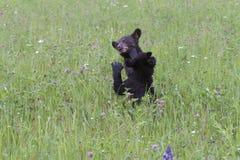 2 черный медведь Cubs играя в Wildflowers Стоковое Изображение RF