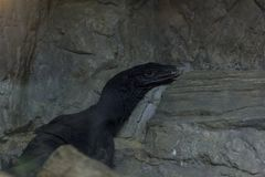 Черный монитор воды в зоопарке стоковое фото