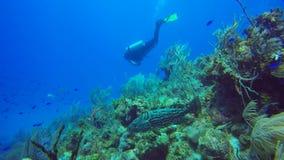 Черный морской окунь в Jardin de Ла Reina Кубы акции видеоматериалы