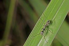 Черный муравей стоковые изображения