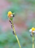 Черный муравей Стоковое Изображение