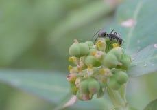 Черный муравей стоковое изображение rf