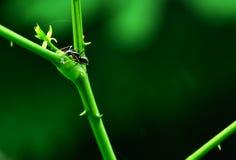 Черный муравей Стоковые Фото