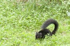 черный наблюдать lemur травы Стоковые Изображения RF