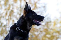 Черный немецкий портрет sheepdog стоковые изображения rf