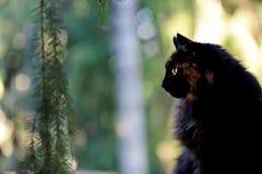 Черный норвежский кот леса в лесе Стоковое Фото