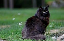 Черный норвежский кот леса сидя outdoors Стоковые Изображения