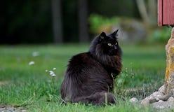 Черный норвежский кот леса сидя outdoors Стоковая Фотография RF