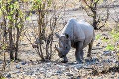 Черный носорог в кусте Стоковая Фотография