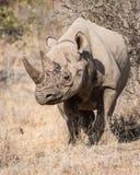 Черный носорог, запас Balule, Южная Африка Стоковые Фото