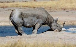 Черный носорог на waterhole в Etosha Стоковые Фото