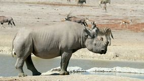 Черный носорог на waterhole - Etosha акции видеоматериалы