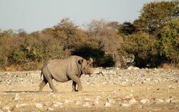 Черный носорог около waterhole в Etosha Стоковая Фотография RF