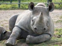 Черный носорог смотря прямо к камере Сфотографированный на парке сафари Lympne порта около Ashford Кента Великобритании стоковые изображения rf