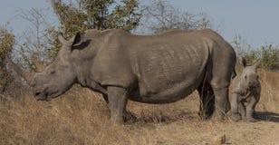 Черный носорог с младенцем Стоковые Фотографии RF