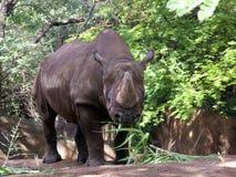 черный носорог Стоковые Фото