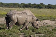 черный носорог Стоковые Изображения RF