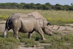 черный носорог Стоковое Изображение RF