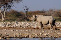 Черный носорог, nationalpark etosha, Намибия стоковые изображения rf