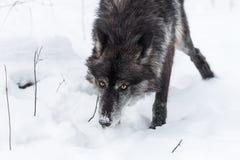 Черный нос волчанки волка серого волка участка вниз через снег Стоковые Изображения RF