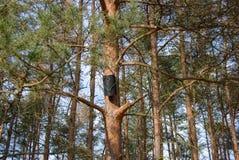 Черный дом птицы на сосне Стоковая Фотография